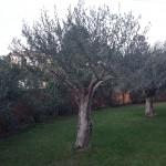 Taille d'éclaircie sur 3 oliviers - Après