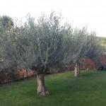 Taille d'éclaircie sur 3 oliviers - Avant
