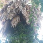 Taille d'entretien d'un palmiers - Après