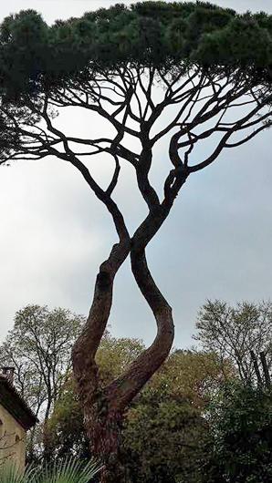 Haubenage arbre languedoc roussillon
